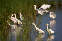Snowy Egrets forging for food in the shallow marsh of Prime Hook NWR, Delaware